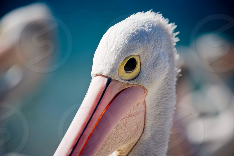 Close up of a Pelican photo