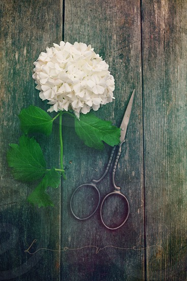 love flowers hydrangea scissors clippers shears barn wood wood still life flower floral nature text typography plant photography RDelean photo