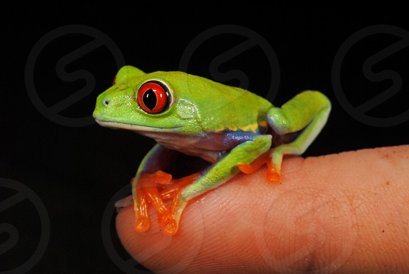 One of the symbols of the rain forest today - a Nicaraguan red-eyed tree frog (Agalychnis callidryas) on a fingertip. photo
