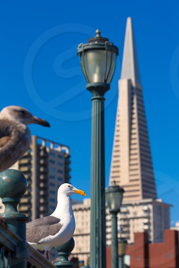 San Francisco seagull at Pier 7 and downtown in California USA photo