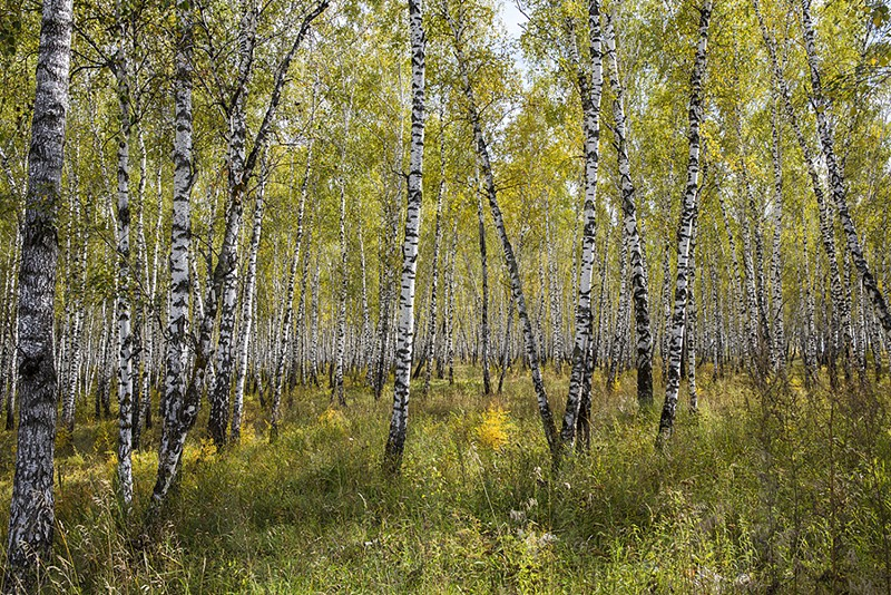 russia siberia birch trees forest trees fall photo