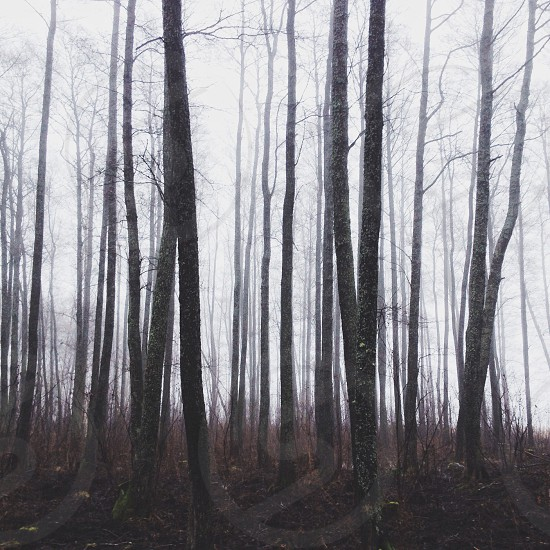 view of brown forest tree trunks photo