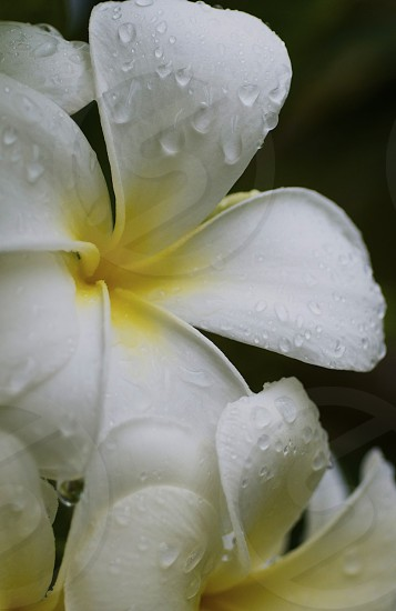 Water Drops on a Plumeria Flower - Florida  photo