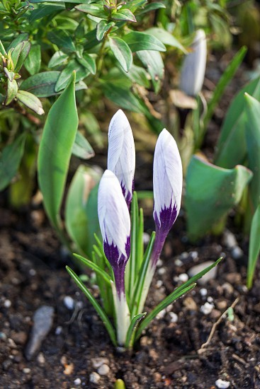Early spring purple and white crocus photo