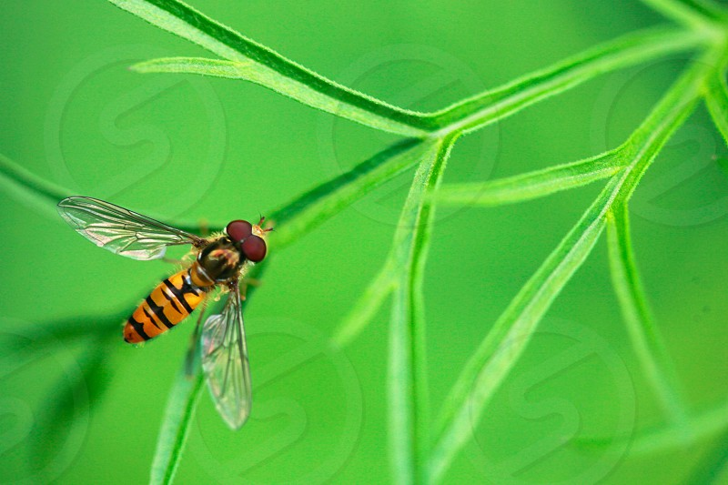 striped fly on green photo