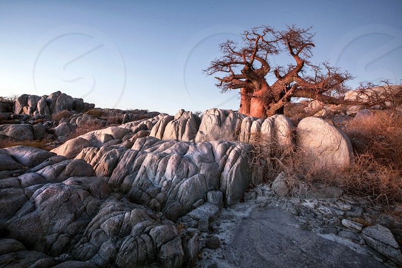 acacia tree by grey rocks under blue sky during daytime photo