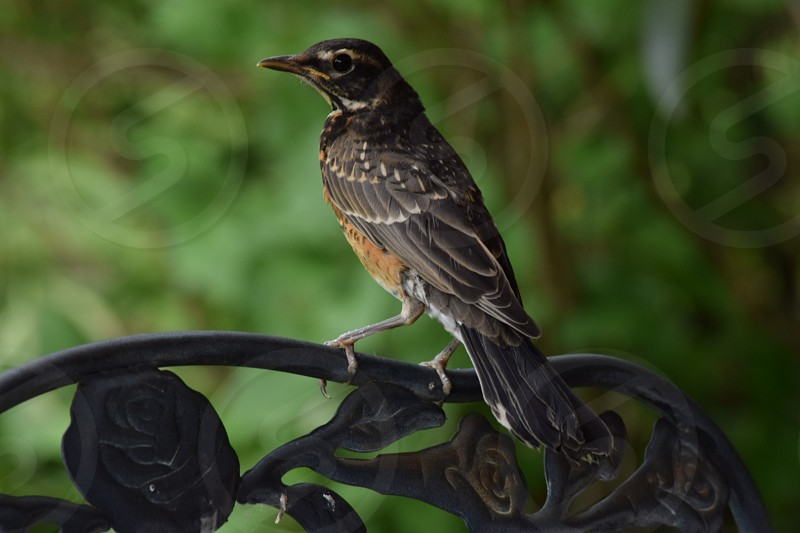 robin on chair in garden bird photo