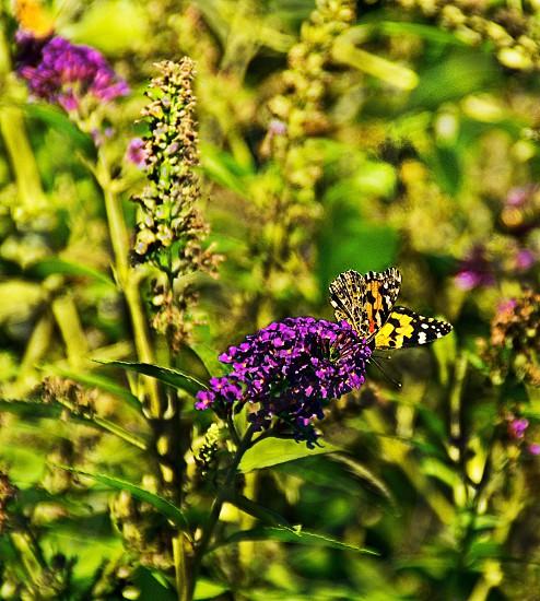 ButterflyFlowersGreenGarden  photo