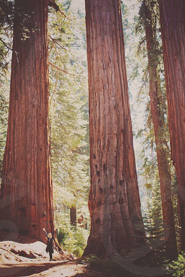Red Woods Yosemite Park Forest Tree Nature National Park California  photo