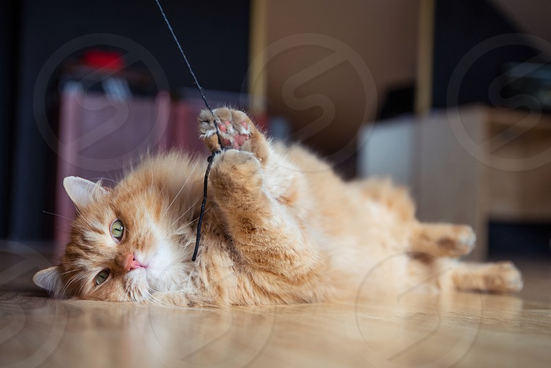 Cute Siberian ginger cat playing game in the room. photo