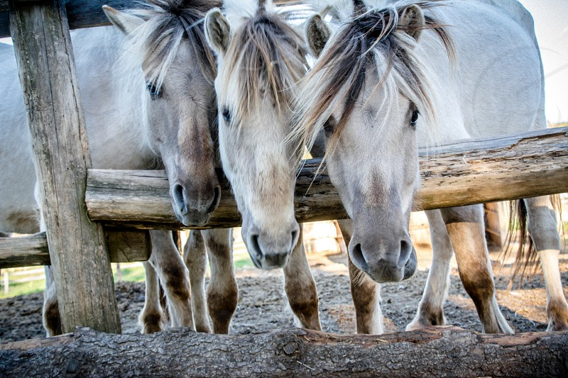 3 white horses on brown wooden fence outdoors under blue and white sunny sky during daytime photo