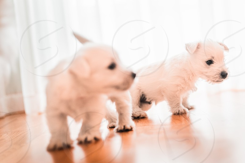 Two playful fluffy west terriers on the floor photo