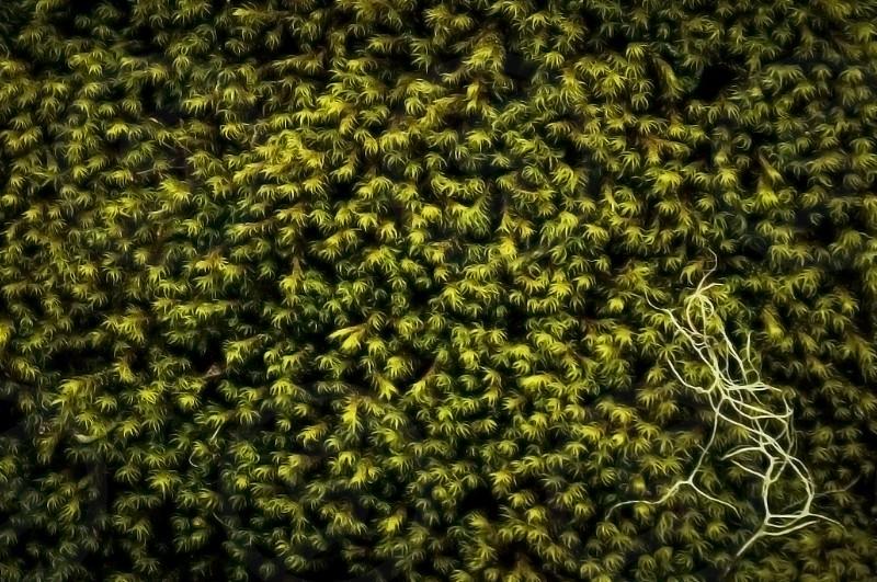 Oregon moss photo