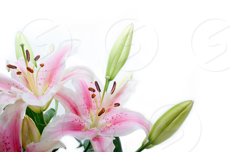 lily flowers corner frame over white background copyspace photo