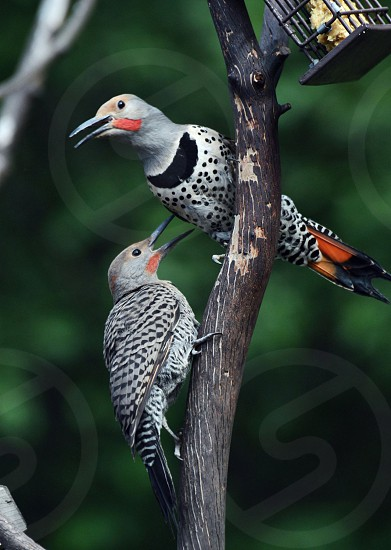northern red shafted flicker father and son photo
