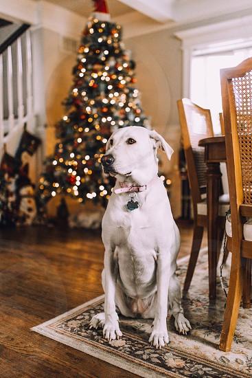 Christmas Christmas dog dog Labrador Christmas tree  photo
