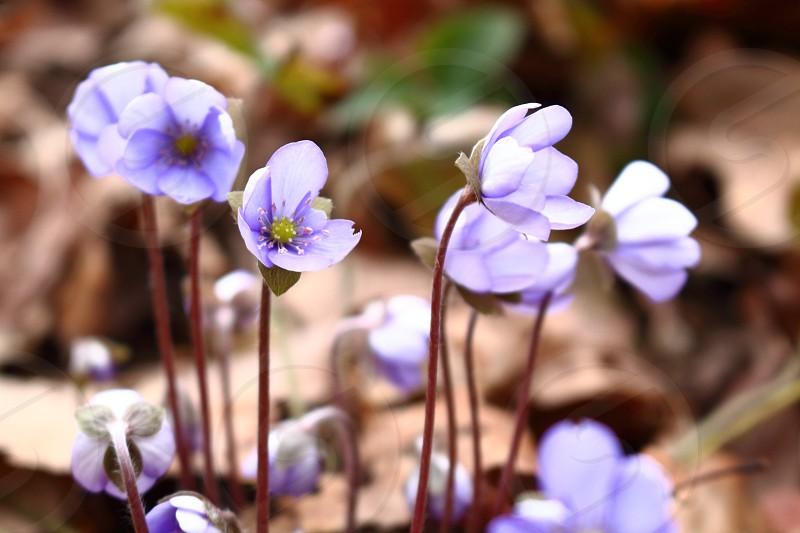 violet spring flowers photo