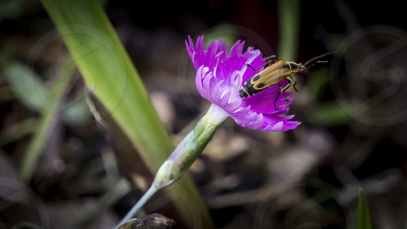 Beetle on a Flower. photo
