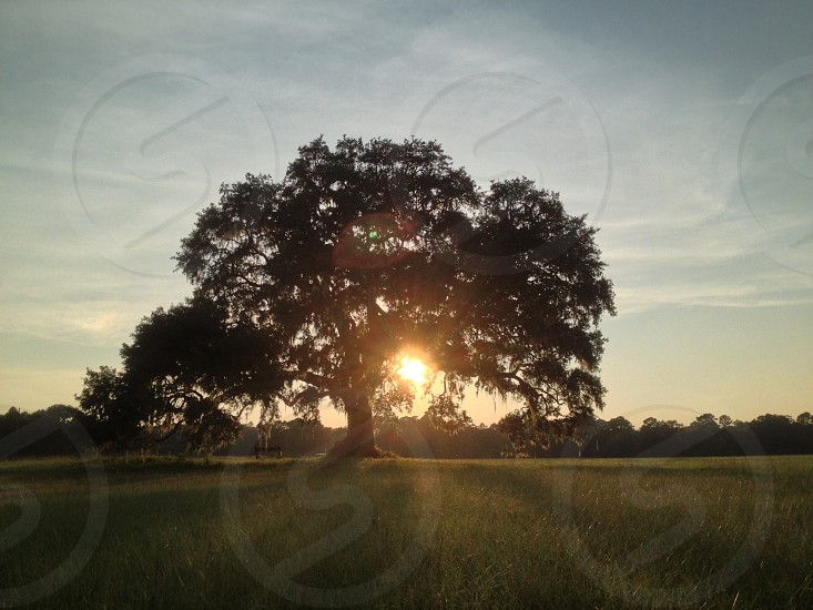 Lone Oak Tree  at sunset photo