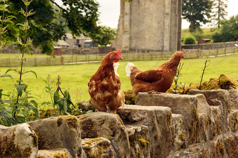 United Kingdom England Cumbria. Shap Abbey and farm. Two chickens on a wall. photo
