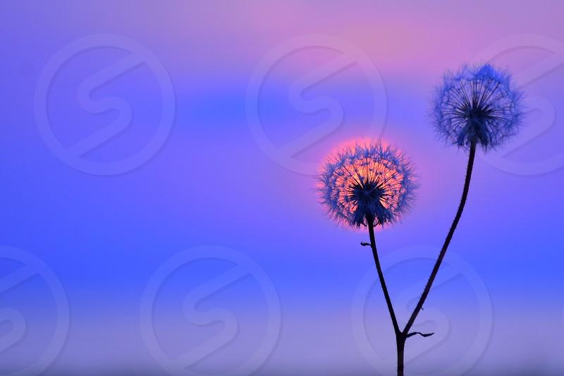 white dandelions under purple sunset photo