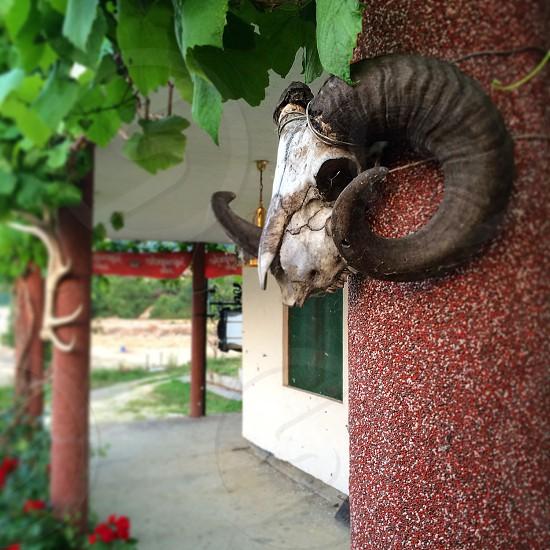goat skull green leaves flowers garden veranda column summer decoration Serbia photo