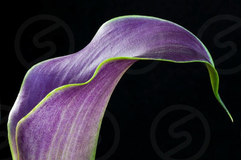 Purple Calla Lily photo