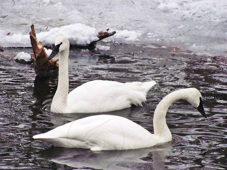 swans swimming in partially frozen water photo
