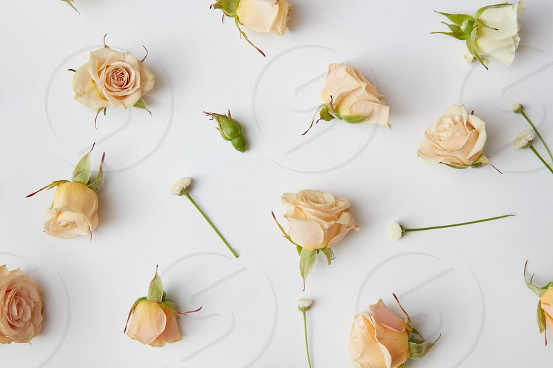 Assorted roses heads and leaves scattered on a white background overhead view photo