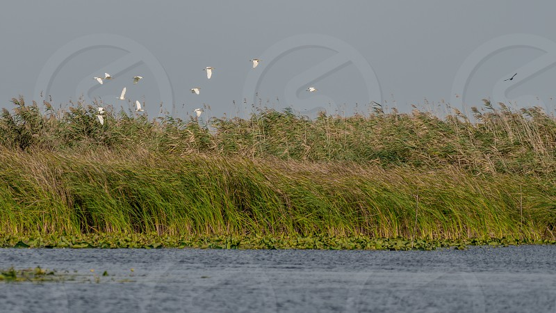 Great White Pelicans (pelecanus onocrotalus) flying over the Danube Delta photo