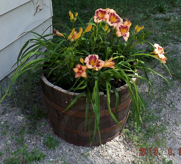 Daylily; whiskey barrel; summertime; Idaho; container photo