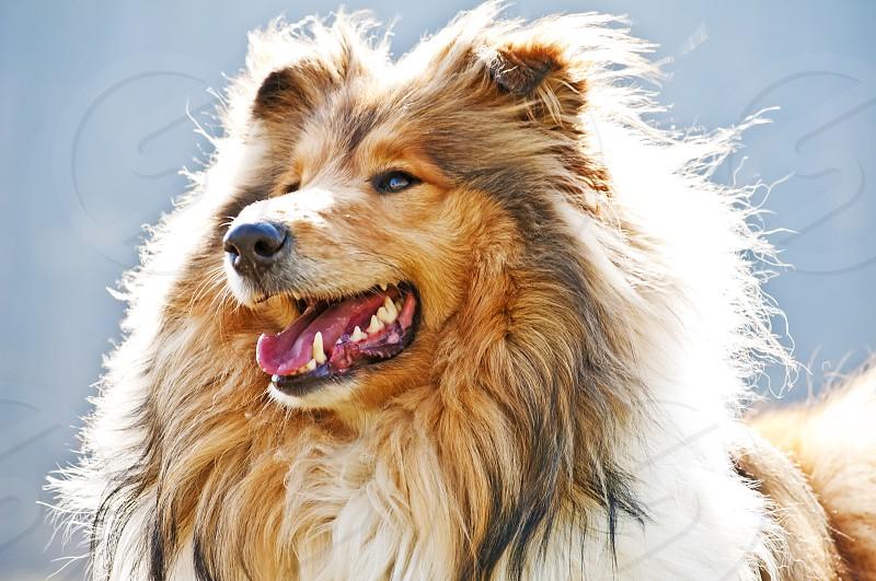 British female purebred collie dog photo
