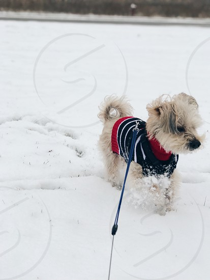 Dog puppy sweater dog sweater snow playing photo