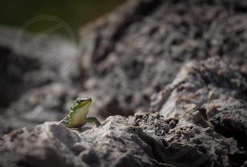 green lizard on black rocky surface photo