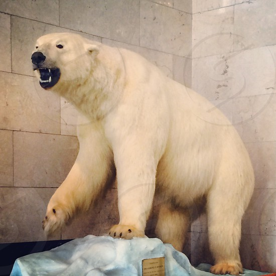 polar bear photo