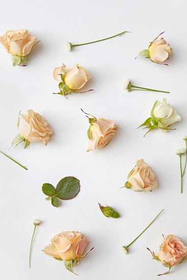 rose flower buds close up on white textured paper background photo