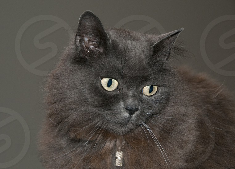 maine coon cat with brown background photo
