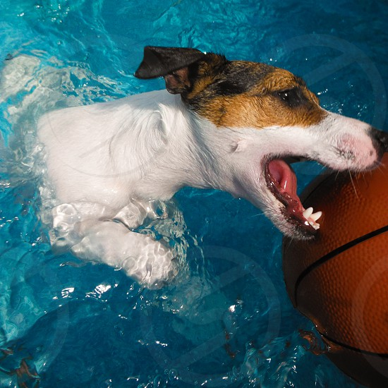 Dog trying to bite into basketball while swimming in pool. photo
