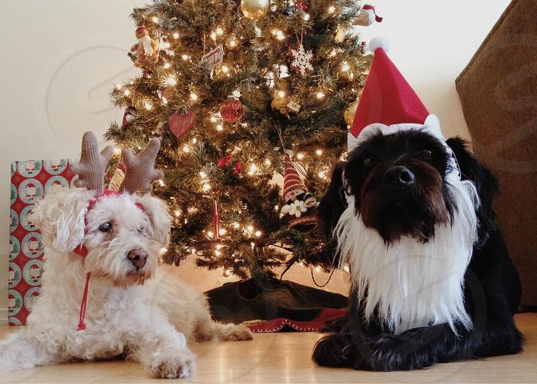 white short haired dog lying on floor wearing red santa hat photo