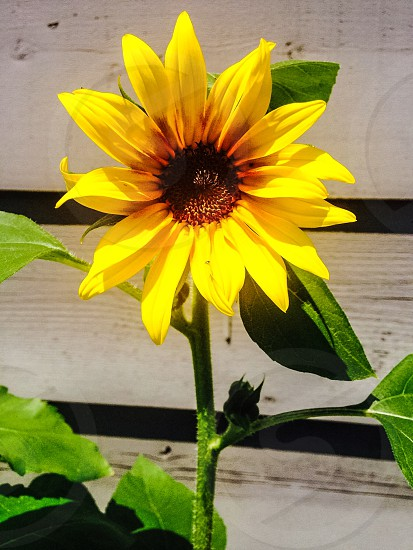 My point of view of a sunflower.. photo