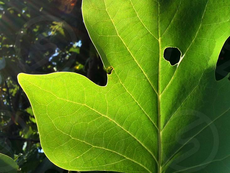 Back Lit Poplar Tree Leaf photo