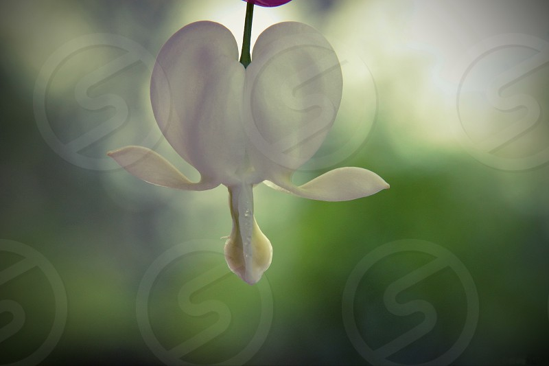 When your heart has wings - white bleeding heart flower that has wing like petals photo