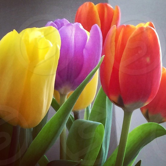 Yellow/Purple/Orange Tulips  photo