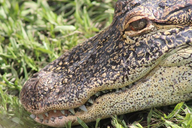 Close-up of a Florida Alligator photo