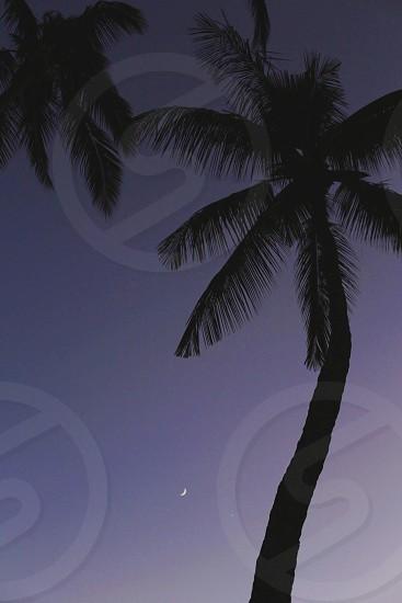 coconut palms photo