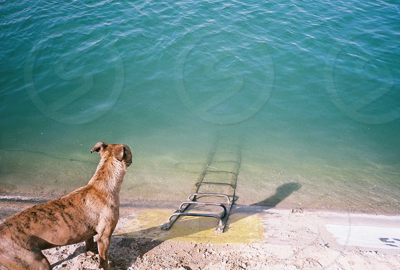 A dog contemplating swimming. photo