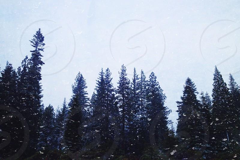 pine trees in winter photo