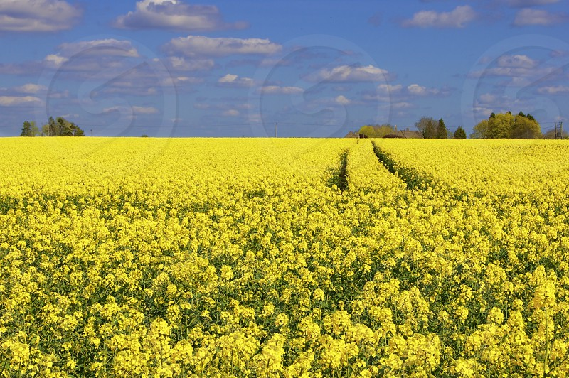 Rape Seed Field photo