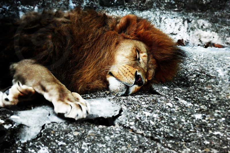 brown lion lying on ground photo