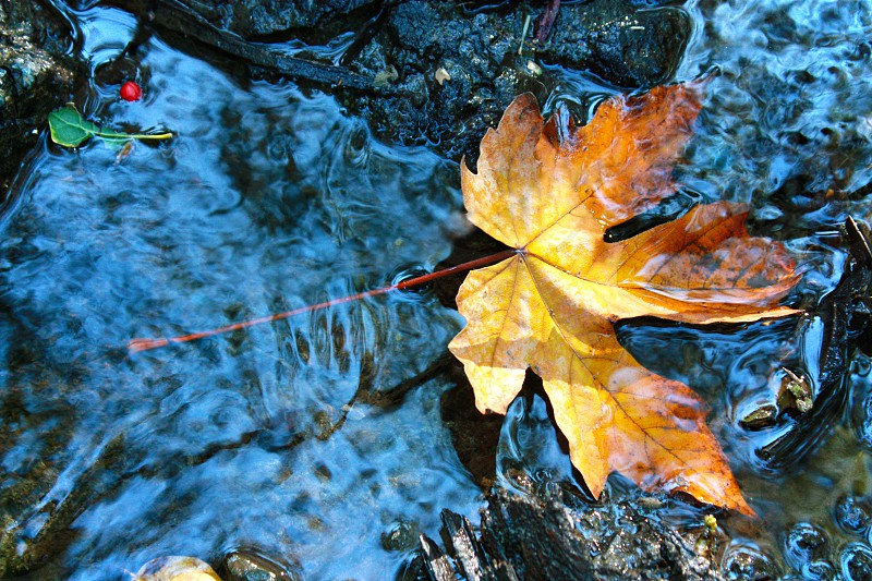 brown maple leaf in the river  photo